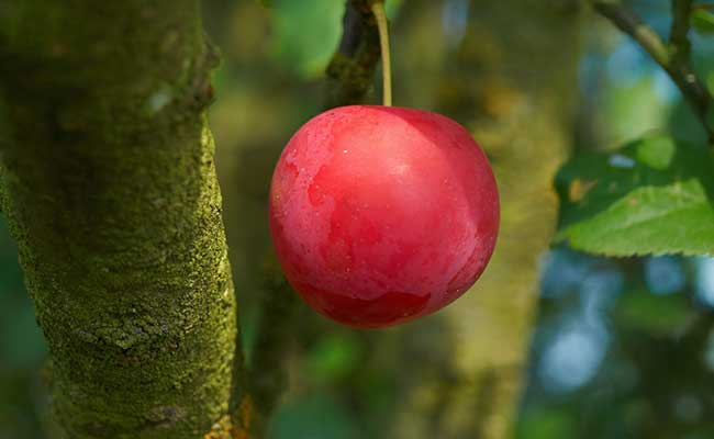 Pohon Plum