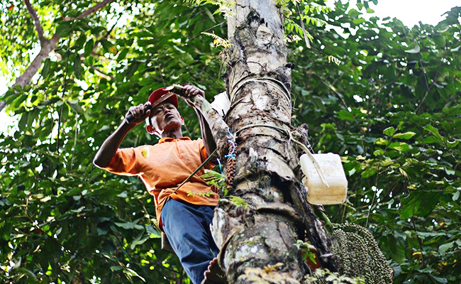 Produksi Gula Semut, WANDANI Ajak Masyarakat Lestarikan Pohon Aren